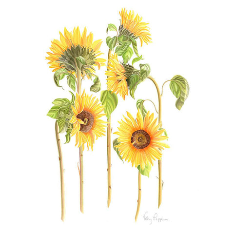 Sunflowers By Vicky Mappin