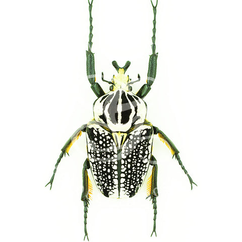 Goliath Beetle By Jack Wells