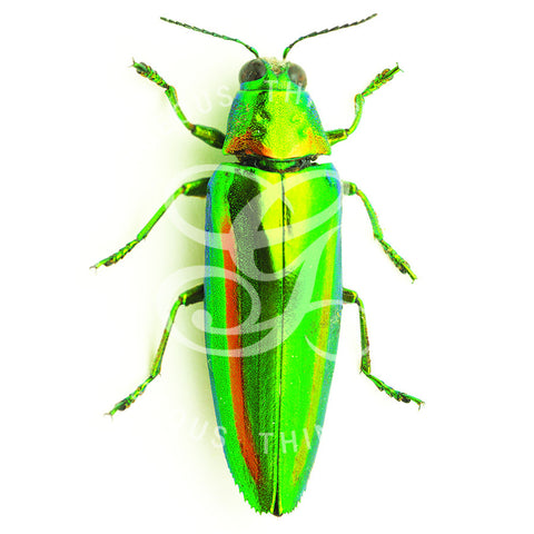 Green Jewel Beetle By Jack Wells