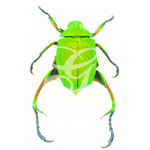 Green Scarab Beetle By Jack Wells