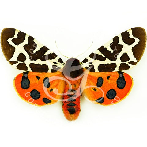 Garden Tiger Moth By Jack Wells