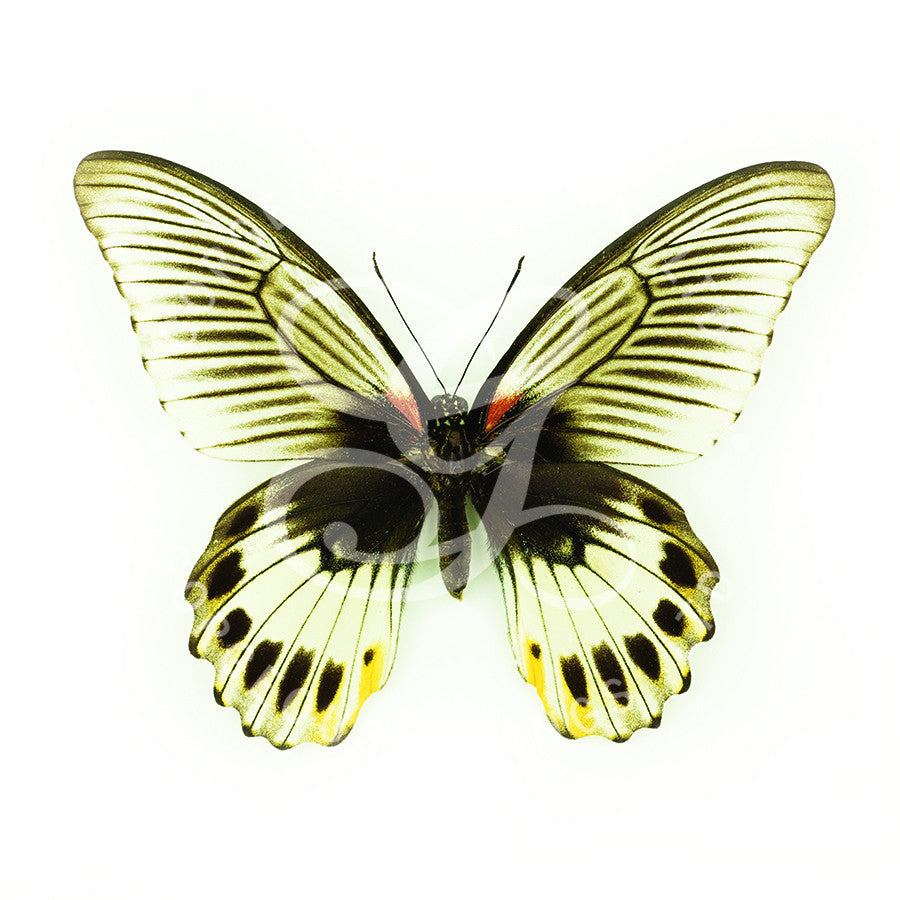 Great Mormon Butterfly By Jack Wells