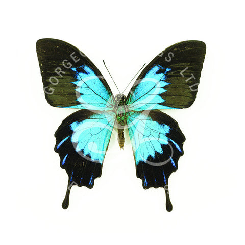 Ulysses Butterfly By Jack Wells