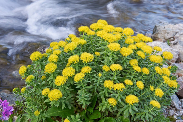 benefits of rhodiola