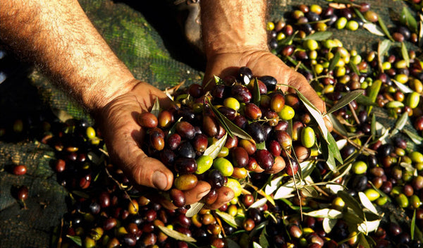 Olive: The blessed Greek fruit