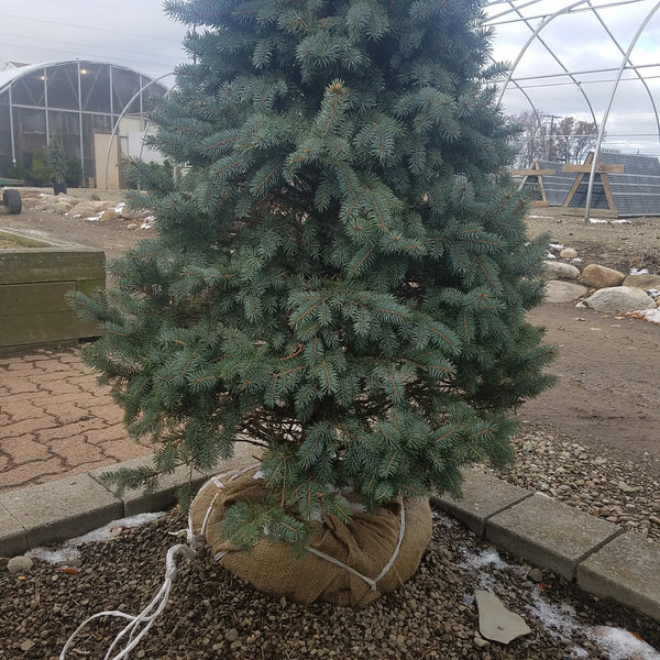 Planting Your Christmas Tree