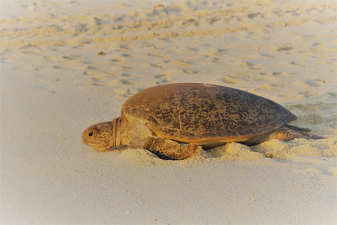 Beach turtle, Heron Island