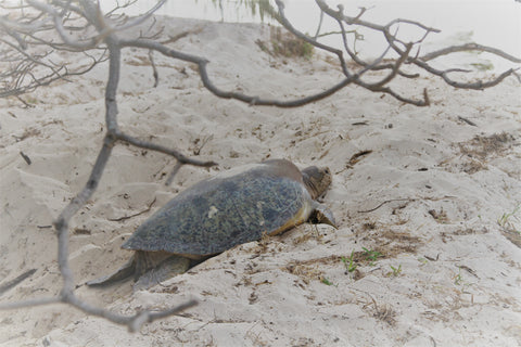 Turtle nest, Heron Island, Lisa Lemon