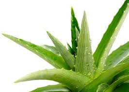 aloe-vera-dog-conditioner-dry-skin