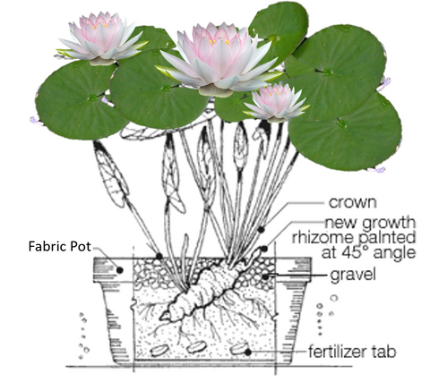 Diagram Of Water Lily - Universal Wiring Diagrams device-them -  device-them.sceglicongusto.itdiagram database - sceglicongusto.it