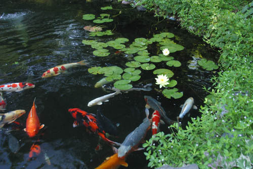 Summer koi pond
