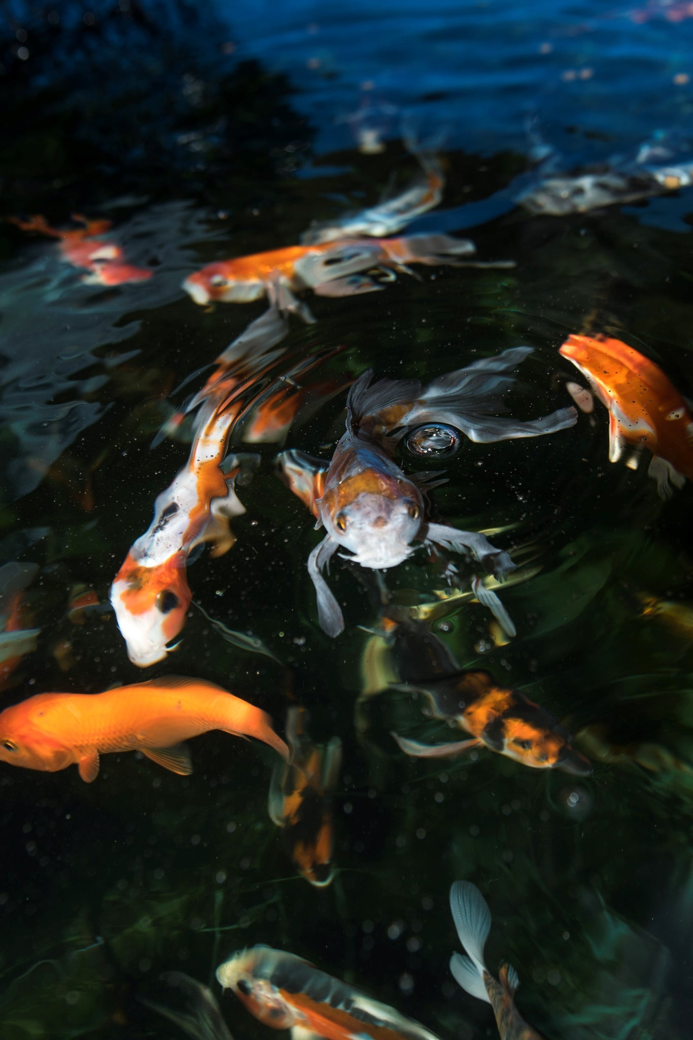 Play It Koi Pond Fish Bothell WA