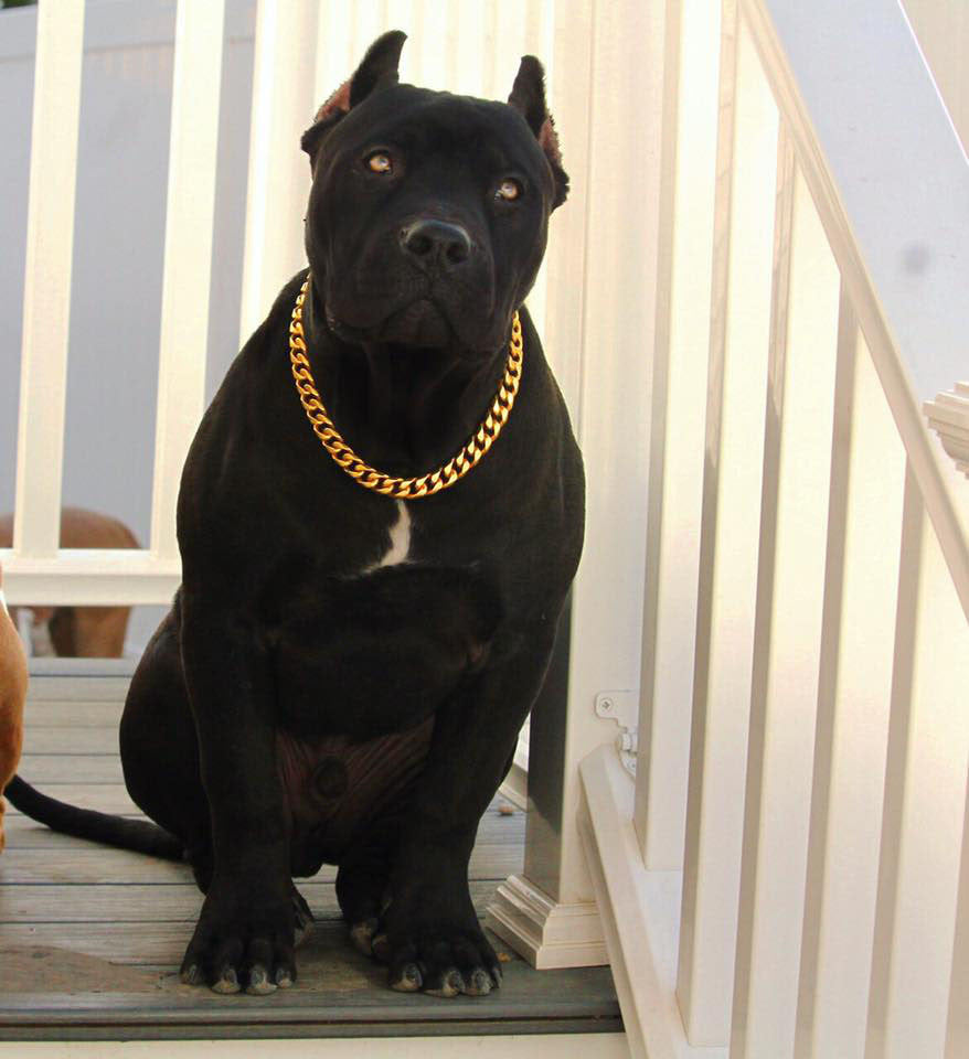 GOLD CUBAN LINK LUXURY DOG CHOKE CHAIN COLLAR