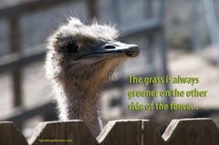 Grass Always Greener Ostrich