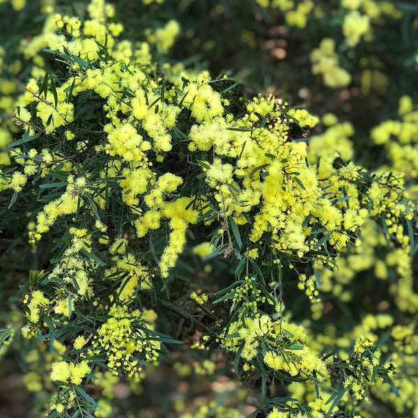 Native Wattle