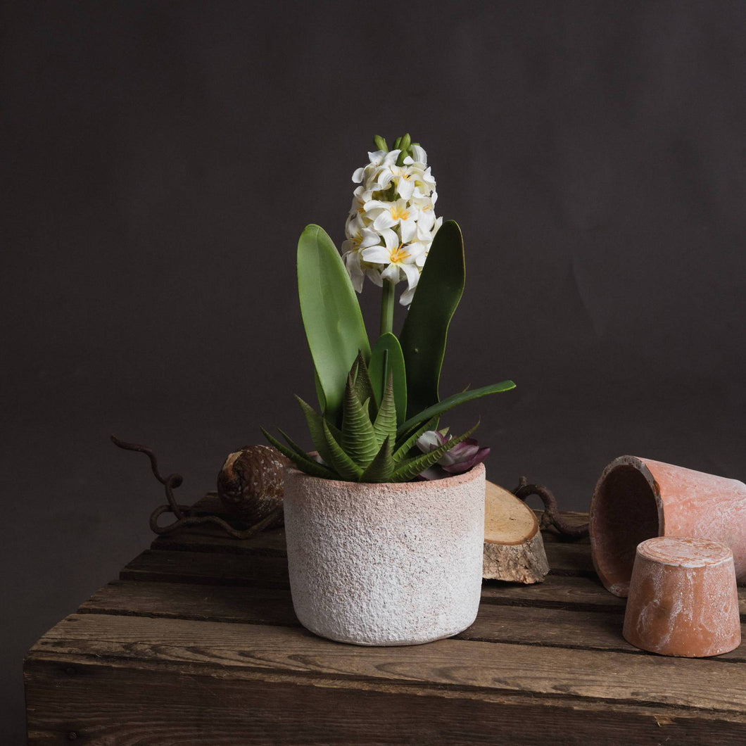 PLANTS - Potted White Hyacinth