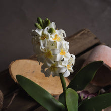 Load image into Gallery viewer, PLANTS - Potted White Hyacinth