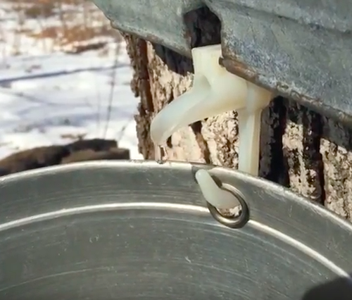 Making Maple Syrup in Ontario