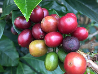 What is Natural Process Coffee?