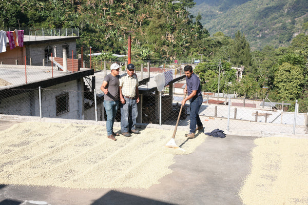 Guatemala-Vilatoros-Natural-Process-Drying-Coffee-Beans-North-Shore-MN