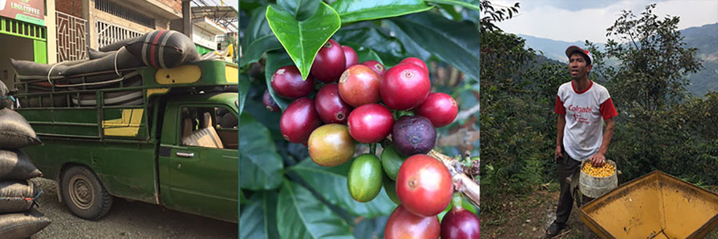 Organic Peru Coffee Production