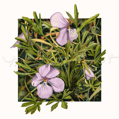 Birdsfoot Violets - Watercolor
