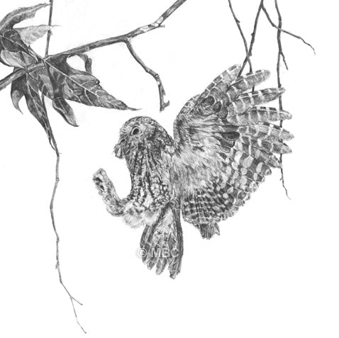 Bird - Coming Home - (Whiskered Screech Owl, Otus trichopsis) - Carbon Pencil Drawing
