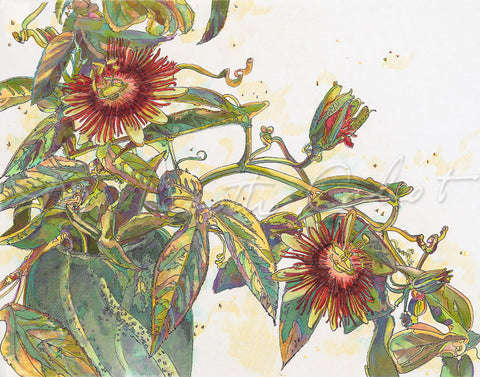 Passion Flower Vine (Passiflora  rasmosa) - Colored Pencil & Ink