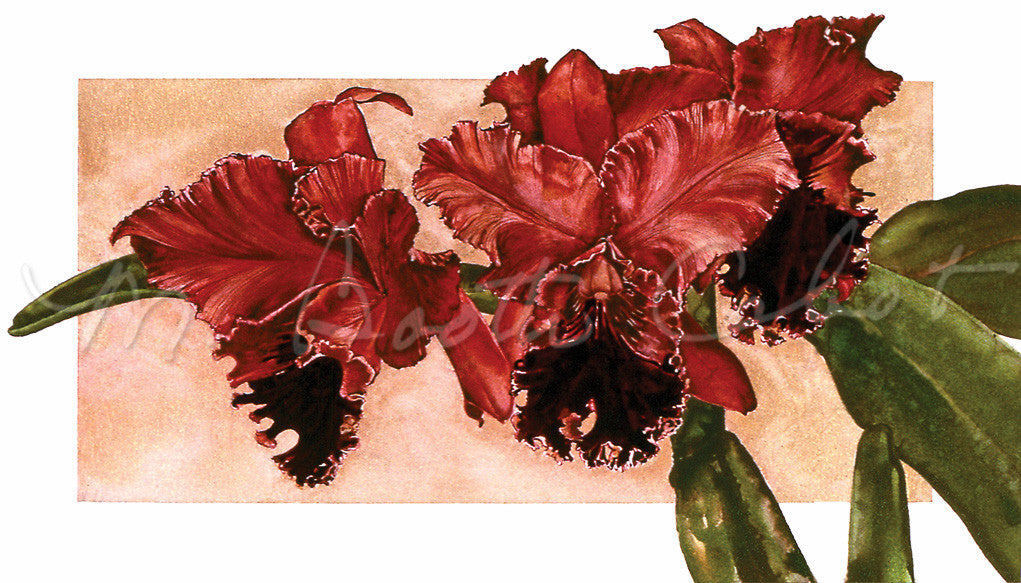Orchid - Red Cattleya Orchid - Watercolor
