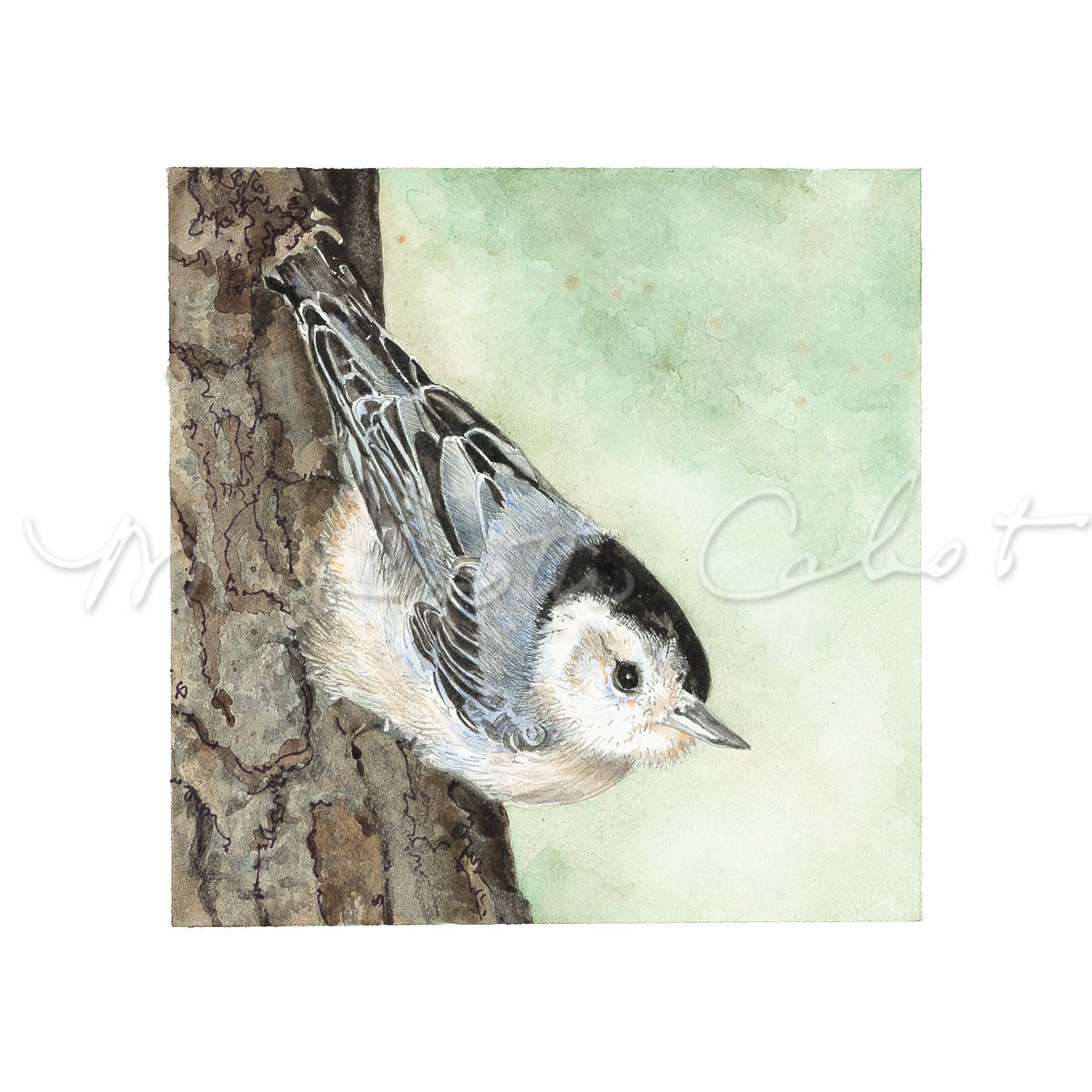 Bird - White-breasted Nuthatch (Sitta Carolinensis) - Watercolor