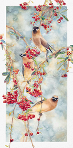 Cedar Waxwings on Pyracantha II