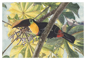 Bird - Toucan (Chestnut-mandible Male Toucan)