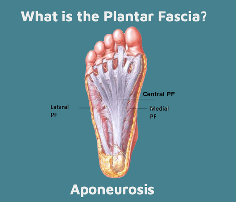 Image of the foot showing where the plantar fascia is