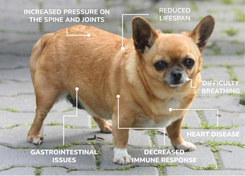 overweight dog - obesity in dogs