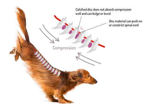 causes of IVDD - IVDD in dogs