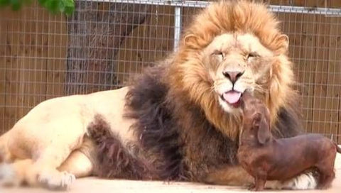 Doxie & Lion