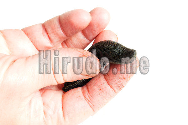 75 European Live Medical Leeches Hirudo Leech Therapy Medicinal Worms