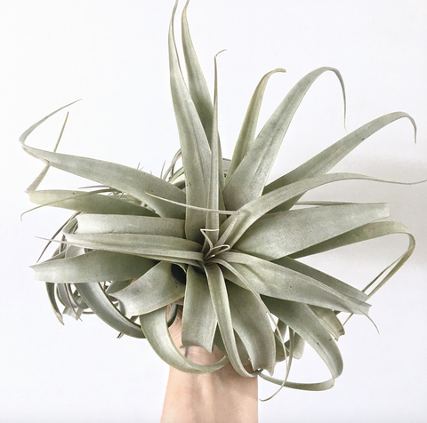Air Plants (Tillandsia Xerographica)