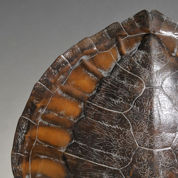 Turtle Carapace Moulding