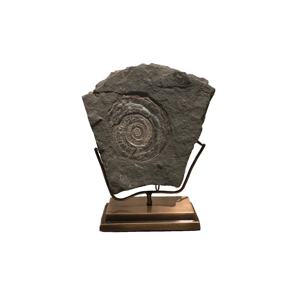 Ammonite on Brass Stand