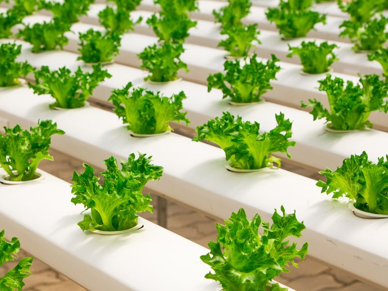 Rows and rows of green lettuce - horticulture