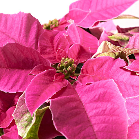 Our Favourite Christmas Plants