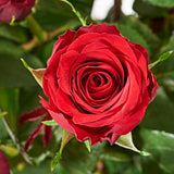 Close up of 12 Red Roses - luxury bouquet of flowers - red rose