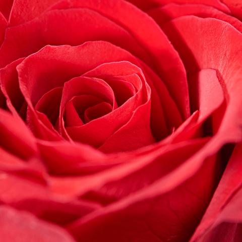 Extreme close-up of 12 Red Roses - luxury bouquet of flowers - red rose