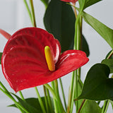 Anthurium - Plants - Postabloom Flower delivery app
