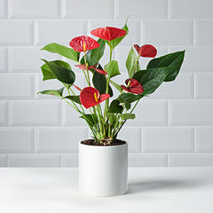Anthurium Plant Delivery - Plants - Postabloom Flower delivery app