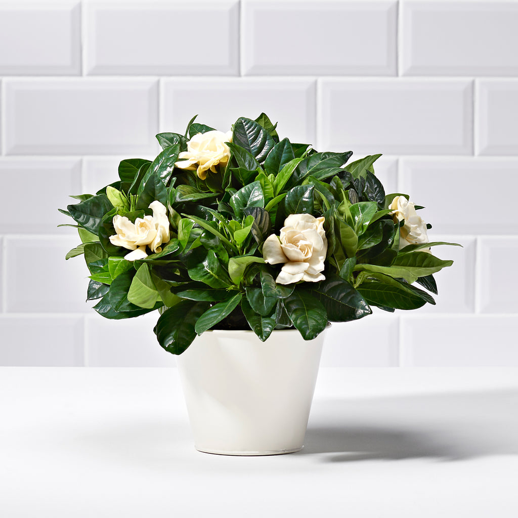 White gardenia plants delivered uk postabloom gardenia mightylinksfo