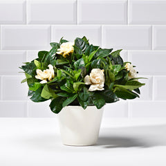 Wide shot of white gardenia - potted plant delivery