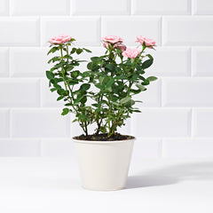 Wide-shot of Pink Rose Potted Plant - delivery of plants - pink rose bush