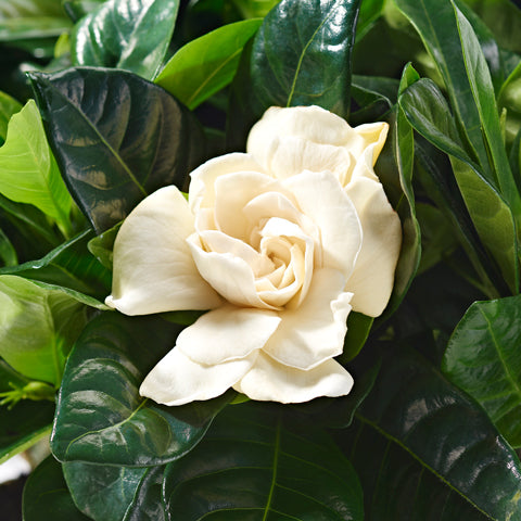 Close up of white gardenia - potted plant delivery